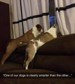 Unless the dog has x-ray vision and can look through a curtain.: Animals, Dogs, Clearly Smarter, Funny Picture, Funny Stuff, Funnies, Funny Animal