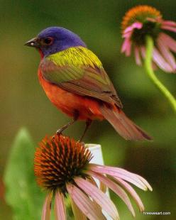 "View ""Painted Bunting"" Image at BirdsandBlooms: Tanagers Painted Buntings, Beautiful Colors, Painted Bunting Beautiful, Amazing Colors, Beautiful Birds, B Buntings Warblers, Nature Animals Plants Scenery"