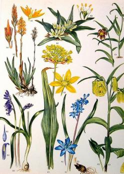 Vintage Botanical Prints Flowers by ninainflorida, via Flickr: Prints Flowers, Botanical Illustration, Botanical Flowers, Inspiration, Botanicals Prints Paintings, Vintage Botanical Prints, Art Prints, Photo, Floral