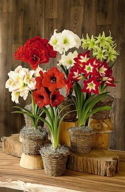 "Watching an amaryllis bulb come into flower is like seeing a horticultural miracle. It seems impossible that six or more enormous, 6-8"" blooms could emerge from a single bulb. The fact that these dramatic flowers need no special attention or skill onl"