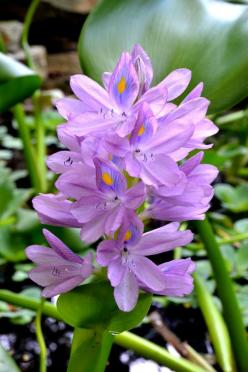 water hyacinth: Moim Ogrodzie, Flower Lotus, Flower S Beauty, Water Hyacinth, Life Colors, Amazing Flowers All, Form Life