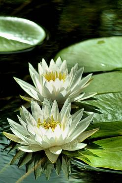 water lilies: Lotus Flowers, Waterlilies, Beautiful Flowers, Art Flowers, Water Lily, Lotus Water Lilies, Garden, Flower