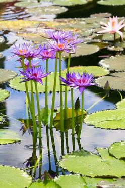 water lily   ...........click here to find out more http://googydog.com    ........P.S. PLEASE FOLLOW ME TOO: Waterlily, Lily Pond, Waterlilies, Water Lily, Water Garden, Lotus Flower, Water Lilies