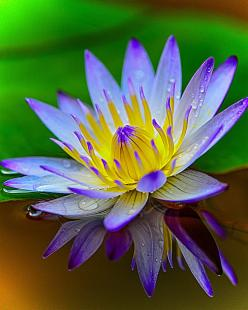Water Lily: Flowers Gardens Trees, Water Plants, Flores Flowers, Waterlilies, Beautiful Flowers, Water Lily, Photo, Water Lilies