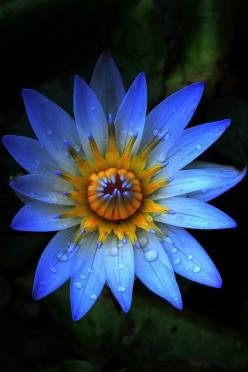 Water Lily, Kauai, Hawaii by Sandra Sigfusson #Water_Lily #Hawaii: Blue Flowers, Nature, Color, Beautiful Flowers, Water Lily, Garden, Lotus Flower, Water Lilies