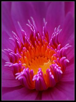 Water Lily [Nymphaea]. Nymphaea is a genus of hardy and tender aquatic plants in the family Nymphaeaceae.: Amazing Flower, Waterlily, Purple Flowers, Beautiful Color, Beautiful Flowers, Awesome Colors, Water Lily, Water Lilies