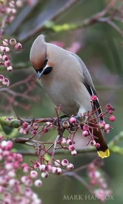Waxwing : Mark Hancox. Flocks of thousands of these along the Scottish west coast and the Isle of Skye while I was working there last autumn.: Wax Wing, Mark Hancox, Cedar Waxwing, Beautiful Birds, Animal