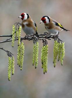 We are getting lots of Goldfinches in our garden ,snacking on the sunflower hearts and black sunflower seeds seems to be their favourite hobby...: Birds Birds, Animals, Birdie, European Goldfinches, Signs Of Spring Goldfinches, Beautiful Birds, Photo, Eye