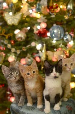 What a great Christmas gift... a new best friend and one less animal in a local shelter. Sounds wonderful to me. It will be on my list to Santa this year.: Christmas Cats, Animals, Christmas Kitties, Crazy Cat, Christmas Kittens, Kitty, Merry Christmas, C