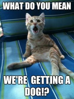 What do you mean we're getting a dog!?: Funny Animals, Cats, Dogs, Funny Cat, Funny Stuff, Humor, Funnies