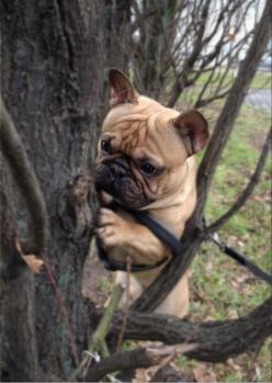 Where's the honey?...I love this especially because Pinots moms name was POOH!!!!: Face, French Bulldogs, Tree, I Frenchbulldogs, Because Bulldogs, Bulldog Stuck, Animal