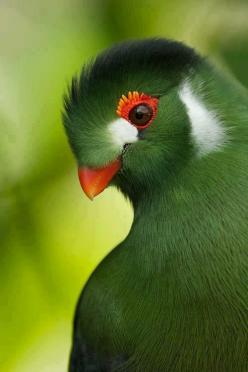 White-cheeked Turaco (Tauraco leucotis) -- a bird of great character. They are about the size of a wood pigeon but have a very rich and distinctive coloring. All turacos are natives of Africa with the White-cheeked Turaco being found in Ethiopia and Eritr