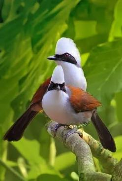 White-Crested Laughingthrush is found in forest and scrub from the Himalayan foothills to Indochina.: Avian, Color, Laughing Thrush, Beautiful Birds, Birdies Board, Birds Laughingthrushes
