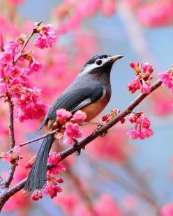 White-eared Sibia. Tommy's Fun Fact: The White-eared Sibia's natural habitat is temperate forests!: Animals, Nature, Color, Pink, Beautiful Birds, Photo, Flower