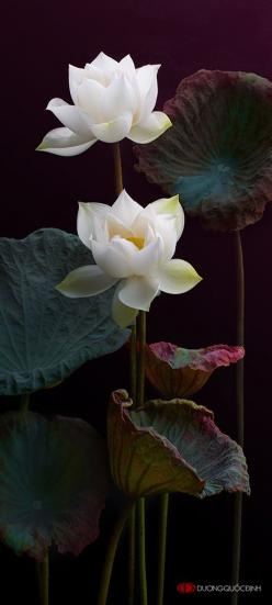 "White Lotus ~ Miks' Pics ""Flowers lll"" board @ http://www.pinterest.com/msmgish/flowers-lll/: White Lotus, White Flower, Flower Photo, Lotus Plant, Beautiful Flowers, Water Garden, Lotus Flower, Water Lilies, Flower"