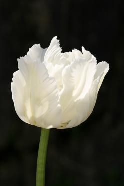 white parrot tulip.: Beautiful Flower, Photos, White Flowers, Parrots, Black Flower, White Parrot Tulips, Black Parrot Tulip, Black Tulip, White Tulip