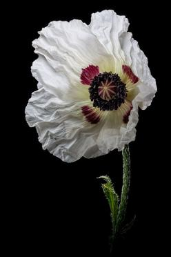 White Poppy, There and Back Again: Flickr, Flores Amapolas, Art Photography, Flower Power, Garden Flowers, Poppies, Flores Poppy Amapolas