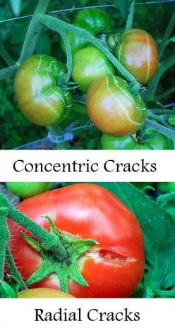 Why a tomato cracks and what to do about it and a lot of other information about caring for tomato plants.: Garden Ideas, Garden Tips, Tomato Plants, Tomatoes Cracking, Tomato Cracks, Vegetable Garden