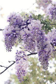 Wisteria. My childhood. laying under lasrge clumps of theses aromatic flower and staring at its huge twisted vines of the bush, childhood memories caydence it: English Garden, Yard, Gorgeous Wisteria, Flowers Plants, Wisteria Flowers, Beautiful Flowers, B