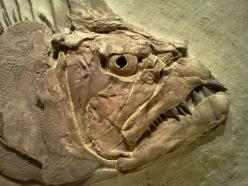 Xiphanctinus (Portheus) Molossus, once swam in the sea that covered much of present-day Kansas.: Fish Fossils, Natural History, Ku Natural, Museums, Fossils Fishes, Kansas