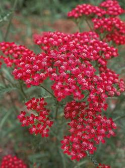 Yarrow *  This care-free perennial (Achillea) features lacy gray to green aromatic foliage topped by yellow, pink, peachy, rose or white mounded flower heads. Many varieties are native and attract bees and butterflies. Yarrow requires full sun and is very