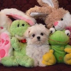 You almost can't find him with a pile stuffed animals. | Community Post: Monte The Maltese Is The Cutest Puppy You'll Ever Meet: Stuffed Animals, Cutest Puppy, Puppy You Ll, Maltese, Pets, Puppys, Monte, Community Post, Dog
