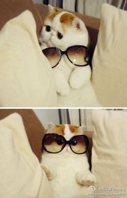 You can't hide the flat face with the sunglasses, kitty.: Cats, Animals, So Cute, Funny Stuff, Funnies, Fabulous, Holy Crap