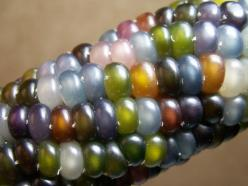 You don't need garden decor when your corn looks this good. (Non-GMO, grown sustainably, too!): Gems, Glasses, Color, Food, Gemcorn, Glassgem, Garden