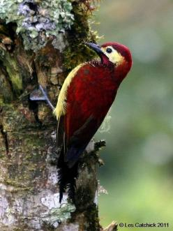 YOWZER ! Have Ever Seen One of These ? A Crimson-mantled Woodpecker ?: Beautiful Colors, Birdie, Photo Sharing, Animals Birds, Beautiful Birds
