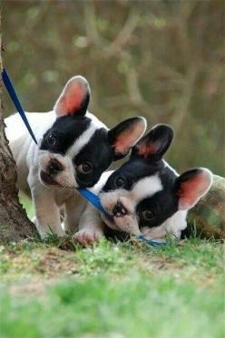 ༺♥༻ℒʊᾔα мḯ @ηℊ℮ℓ༺♥༻: French Bulldogs, French, Frenchbulldog, Puppy, Boston Terrier Puppies, French Bulldog Puppies, Animal