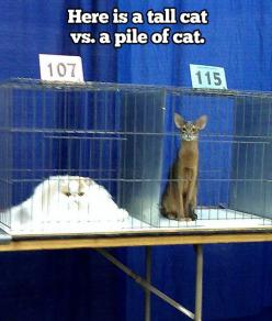 """""""A pile of cat..."""" I laughed WAY too hard at this...: Cats, Animals, Tall Cat, Funny Cat, Funny Stuff, Humor, Funnies, Funny Animal"""