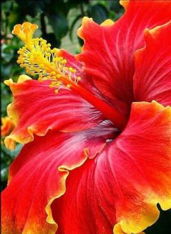 """""""Free grace can go into the gutter, and bring up a jewel!"""" ~ Charles Spurgeon: Color, Flowers Plants, Hibiscus Flowers, Pretty Flowers, Beautiful Flowers, Garden, Flower"""