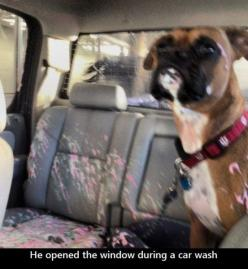 """He opened the window during the car wash."" ~ Dog Shaming shame - Boxer needs child lock activated: Funny Animals, Dogs, Dog Shaming, Window, Cars, Boxer, Carwash, Car Wash"