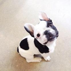 """Hi, my name is Spot, 'cause a my Nose"", Cute French Bulldog Puppy.: White French Bulldog, French Bulldogs, Pet, Frenchbulldogs, Puppy, Box, Frenchie, Animal"