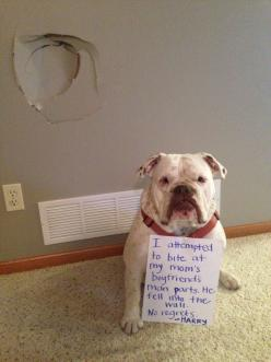 """""""I attempted to bite my Mom's boyfriends man parts. He fell into the wall. No regrets. -Harry"""" ~ Dog Shaming shame - Bull Dog: Boyfriends Man, Dog Shame, Dog Shaming, Mom S Boyfriends, Man Parts, Bull Dogs, Shaming Shame"""