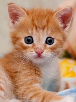 """In my world, the grass is green, the sky is blue and all cats are orange."" --Jim Davis (Creator of ""Garfield""): Cats, Kitty Cat, Animals, Sweet, Ginger Kitten, Kittens, Baby"