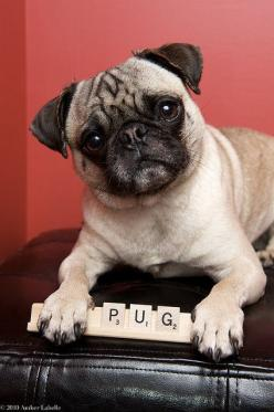 """Of all the nice dog breed names, I'm a pug?  Did you notice that's only one letter away from PIG!"": Animals, Pug Life, Pugs Dogs, Pug Dogs, Smart Pug, Pugs Pugs, Scrabble Pug"