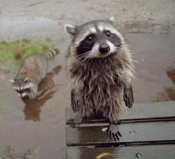 """Pardon me, sir, but could you point me to the nearest Trash Station? My friend and I are awfully lost."": Racoon, Face, Animals, Pet, Creatures, Raccoons, Funny Animal, Things"