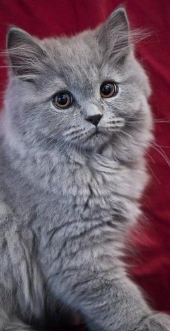 """""""Since each of us is only blessed with one life, why not live it with a cat?"""" --Robert Stearns: Kitty Cats, Grey Cat, Beautiful Cat, Gray Cats, Kitty Kitty, Kittens, Feline, Animal"""