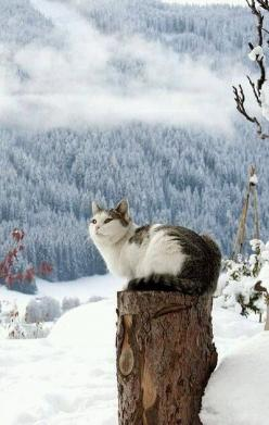 """* * """" SURE DOES MAKE ONE HUMBLE SOAKIN' UP ALL DIS BEAUTY."""": Kitty Cats, Post, Beautiful, Snow Cat, Kittens, Chat, Animal"""
