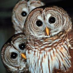 """What is it Father?""    ""That, my son... Is the face of our demise..""      "".....I thought so..."": Animals, Funny, Barred Owls, Owl Obsession, Things, Dr. Who, Baby, Peek A Boo, Birds"