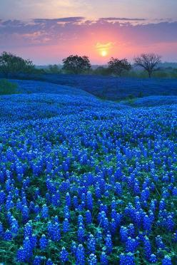 35 Amazing Places In Our Amazing World, Bluebonnet Field in Ellis County, Texas: Nature, Blue Bonnets, Beautiful, Texas Bluebonnets, Place, Flower, Fields, Ellis County