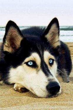 5 interesting facts about Siberian Huskies The Pet's Planet: Animals, Dogs, Siberian Husky, Pets, Blue Eyes, Siberian Huskies, Friend