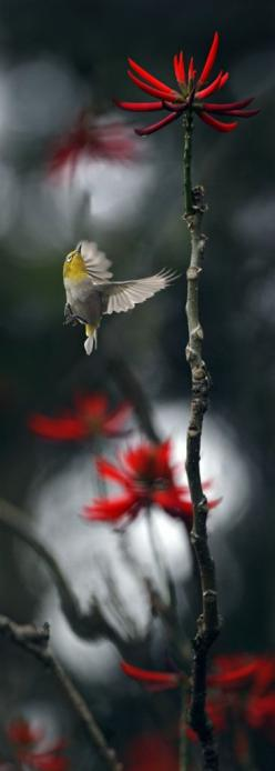 #832 小綠仰展 (von John&Fish): Japanese White Eye, Humming Birds, Red Flowers, Birdie, Beautiful Birds, Animal, Birds In Flight