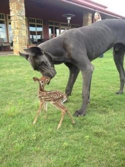 A Great Dane who is friends with a fawn. | 51 Animal Pictures You Need To See Before You Die: Great Danes, Gentle Giant, Animals, Dogs, Friends, Sweet, Pet, Baby