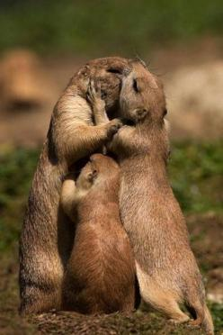 A loving little prairie dog family. <3 - For Abby, b/c I know she would have pinned it!: Prairie Dogs, Animals, Sweet, Creature, Family Love, Group Hug, Families, Photo