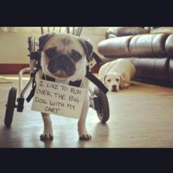 A pug's gotta establish dominance somehow. | 23 Photos That Prove Pug Shaming Is The Best Kind Of Dog Shaming: Animals, Dog Shaming, Pet, Funny, Pugs, Things