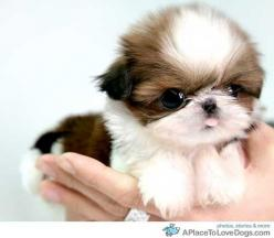 A Shih Tzu puppy...seriously. This is def the dog version of Shockey Lynn!: Animals, Puppies, Dogs, So Cute, Pet, Puppys, Shihtzu, Shih Tzu, Baby
