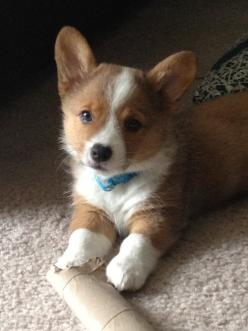 """adorable, """"I heard the phone ring....shhh, listen I think it's the Queen of England.  She wants me, she wants me!"""": Corgis, Face, Animals, Dogs, Baby Corgi, Corgi Puppies, Puppy, Friend"""