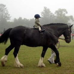 Adorable!: Gentle Giant, Draft Horses, Animals, Equine, Big Horses, Things, Kids, Beautiful Horse, Equestrian